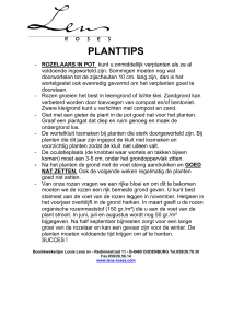 Planten rozen in pot