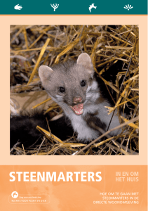 steenmarters in en om - De Zoogdiervereniging